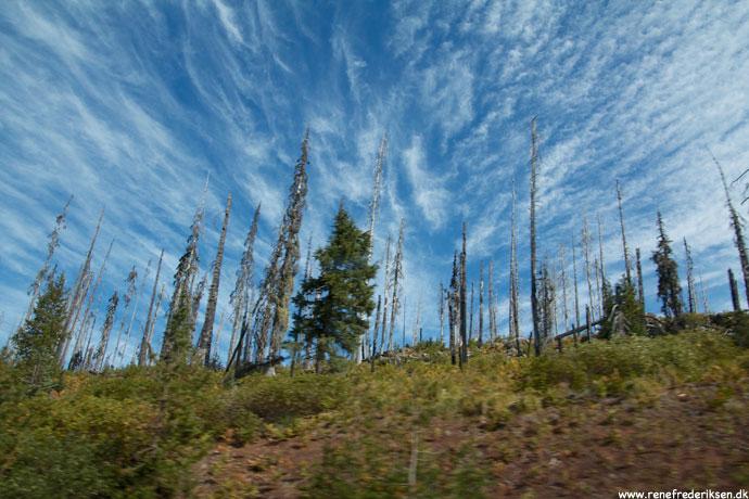 Bemærk de skaldede træer fra tidligere skovbrande.