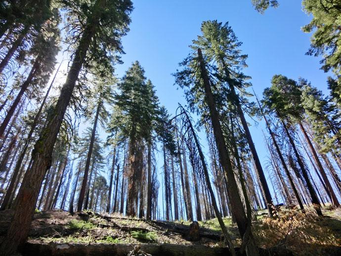 Mariposa Grove, Yosemite Natl. Park