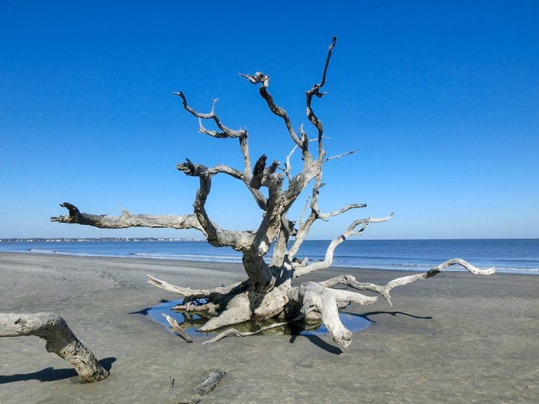 Driftwood Beach – unik strand nær Savannah